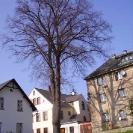 rizikové kácení lípy (Liberec - centrum)