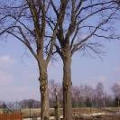 prořezávání javorů (Dlouhý Most)