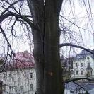 vazba buku s prasklinou (Liberec - Lidové sady)